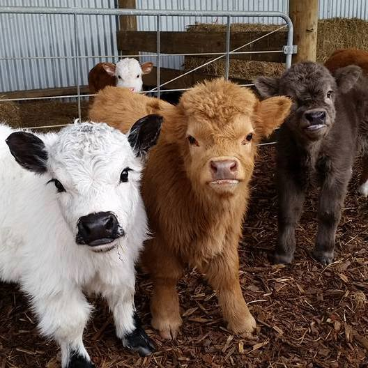 a-selection-of-baby-cows